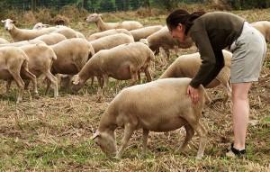 Джоанна подгоняет овцу (Petteri)